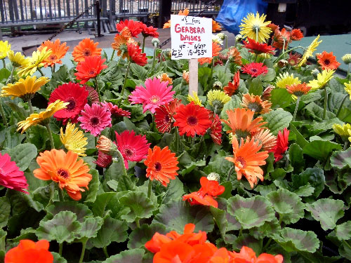 gerbera-daisies